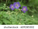 violet flowers geranium... | Shutterstock . vector #609285302