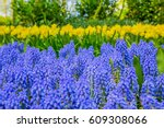 Muscari Flowers In Keukenhof....
