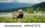 Ferret Standing In Long Grass...