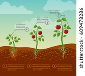 tomatoes growth and planting...