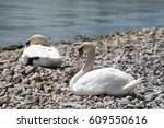 Swan Family On The Shore.