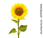 Sunflower Isolated White Background Flat - Fine Art prints