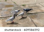 gray pigeons standing on ground.... | Shutterstock . vector #609586592