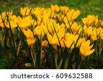 beautiful crocuses flowers in...   Shutterstock . vector #609632588