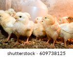 Photographing Chicks In A Box...