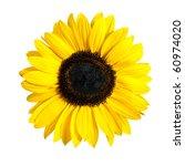 Beautiful Fresh Yellow Sunflower Flower. Closeup on Petals Isolated on White Background - stock photo