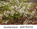 Small photo of Wild American plum blooming in the spring