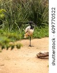 Small photo of African sacred ibis called Threskiornis aethiopicus is found in the sub-Saharan Africa