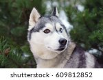 the portrait of a grey siberian ... | Shutterstock . vector #609812852