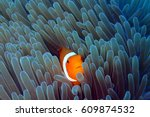 clown fish in anemone | Shutterstock . vector #609874532