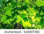 green maple leaves background | Shutterstock . vector #610007282