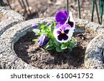Purple Pansy In The Garden...