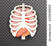 rib cage lungs heart liver... | Shutterstock .eps vector #610048835