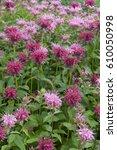 monarda mahogany monarda melissa | Shutterstock . vector #610050998