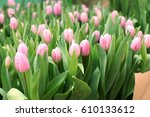 Pink Tulips Blooming  In The...