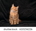 Stock photo adorable fun serious red solid maine coon kitten sitting with beautiful brushes on the ears on 610156226