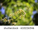 Small photo of Senna hebecarpa, with the common names American senna and wild senna, is a species of legume