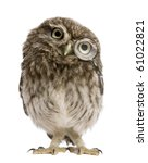 Stock photo little owl wearing magnifying glass days old athene noctua standing in front of a white 61022821
