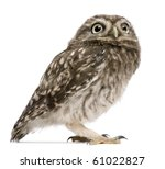 Stock photo little owl days old athene noctua standing in front of a white background 61022827