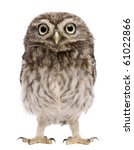 Stock photo little owl days old athene noctua standing in front of a white background 61022866