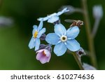 a lot of blue forget me not... | Shutterstock . vector #610274636