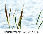 Cat Tail Grass At Beside The...