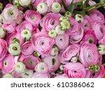 pink ranunculus. flower... | Shutterstock . vector #610386062