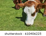 cows on a summer pasture eating ... | Shutterstock . vector #610406225