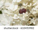 Striped Red And Black Beetle...