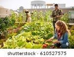 friendly team harvesting fresh... | Shutterstock . vector #610527575