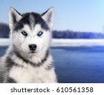 Stock photo portrait black and white husky dog in the background of the snow river 610561358