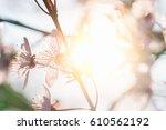 Flowering Tree In The Sunlight