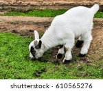 Small photo of (Cute Baby Goats) The goat is a member of the family Bovidae and is closely related to the sheep as both are in the goat-antelope subfamily Caprinae.