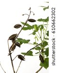 Small photo of Abelmosk, Ambrette seeds, Annual hibiscus, tree and fruits.