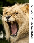 Small photo of Lion Roaring showing teeth