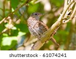 dunnock  hedge sparrow in...   Shutterstock . vector #61074241