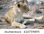 lioness looking over the plains | Shutterstock . vector #610759895
