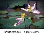 Small photo of Faded Lotus flowers (Nelumbo nucifera)