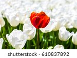 red tulip surrounded by white... | Shutterstock . vector #610837892