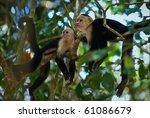 Two Capuchins. Two Capuchins I...