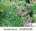 many small purple flowers and... | Shutterstock . vector #610890938