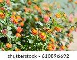 Flowering Lantanas In The Garden
