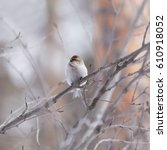 Small photo of Male redpoll sits on a branch of alder on a light background