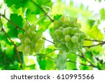 Green Grapes Hanging On A Bush...