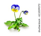 Small photo of Pansy flowers with leaves isolated on white background clipping path included. Spring garden viola tricolor