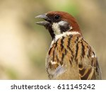 Small photo of Tree sparrow (Passer montanus)