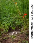 Small photo of North American Badger (Taxidea taxus) Hidden in Den Snarling - captive animal