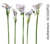 Watercolor Calla Lily Flowers...