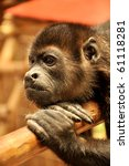Small photo of Howler monkey (Alouatta palliata) thinking