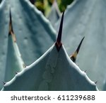 agave cupreata  plant  flora ... | Shutterstock . vector #611239688
